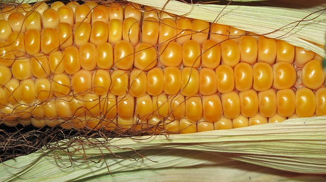 kukuřice v klasu