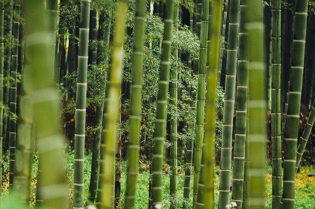 bambus v lese